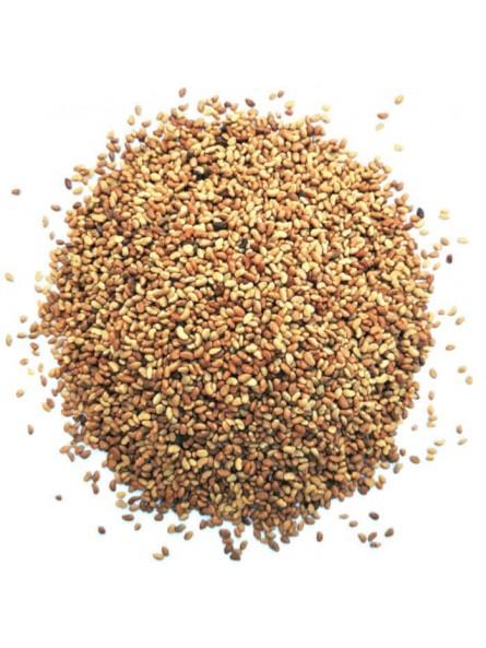 Graines d'alfalfa à germer