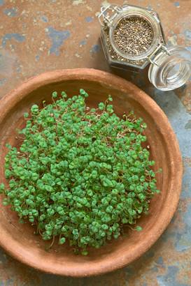 Comment faire germer des graines de chia ?